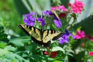 mariposa mormones